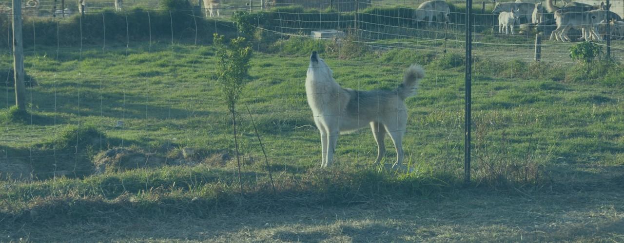 Husky Romi Wolf Sanctuary